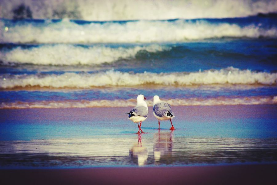 Friends Birds Seagull Reflection Reflections On The Water Portstephens Water Animal Animal Themes Sea Bird Vertebrate Animal Wildlife Animals In The Wild Two Animals Beach Nature