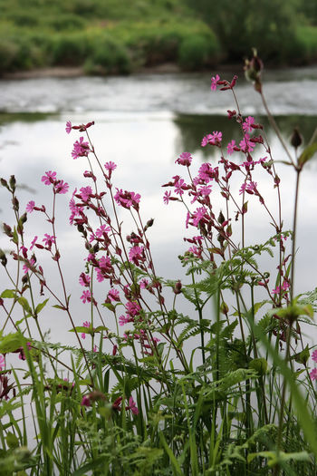 Close-up of pink flowers blooming in lake
