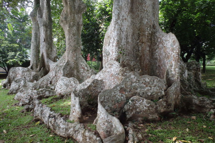 Trip near Kandy, Sri Lanka Beauty In Nature Buttress Roots Day Forest Green Color Kandy Nature No People Outdoors Roots Sri Lanka Tranquil Scene Tree Tree Trunk
