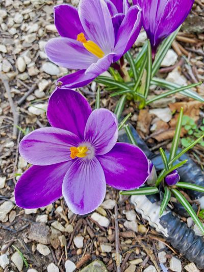 Crocus EyeEm Best Shots Flower Petal Fragility Nature Beauty In Nature Growth Flower Head Day Outdoors Freshness Blooming Plant No People Purple Close-up Crocus