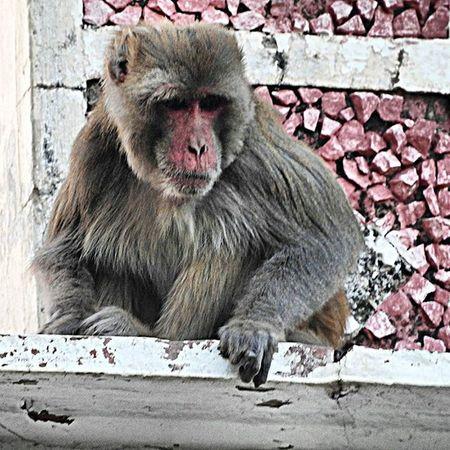 BLACK EYES. * * * * Monkeys of Sariska 2/2. Soi Ig_india Instagood Indianshutterbugs Shutter_bugster Delhiwale DelhiGram _soi _oye _ Dilsedilli Nikonp610 Indianphotographersclub Storiesofindia Ig_captures