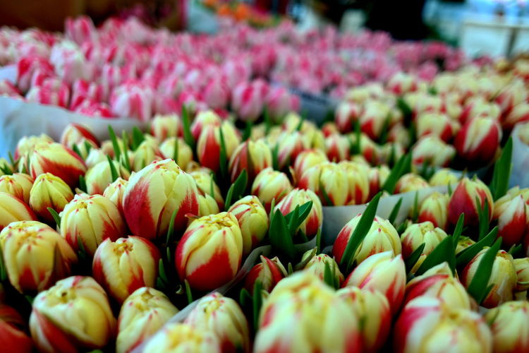 Amsterdam Amsterdamcity Close-up Colorful Eye4photography  EyeEm Best Shots EyeEm Gallery EyeEm Nature Lover Flower Head Flowerporn Flowers Freshness From My Point Of View From Where I Stand Large Group Of Objects Market Market Stall Marketplace Netherlands Netherlands ❤ Noordermarkt Selective Focus The Week On EyeEm Tulip Tulips