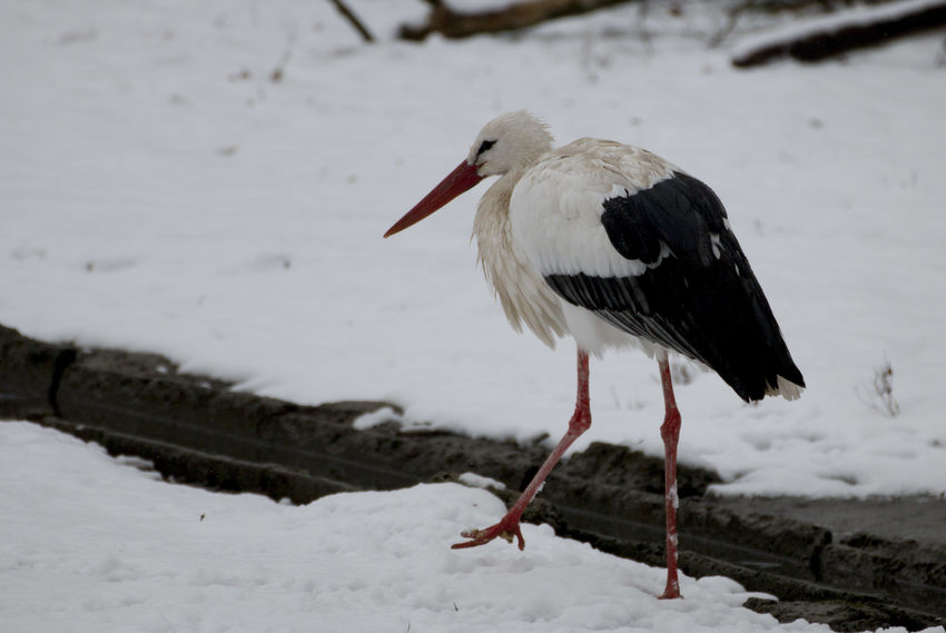 white stork White Stork Winter Animal Themes Animal Wildlife Animals In The Wild Bird Cicogna Ciconia Ciconia Ciconia Day Nature No People One Animal Outdoors Snow Stork