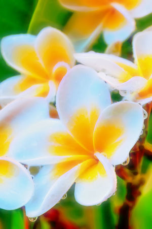 Beauty In Nature Blooming Blossom Close-up Elégance Flower Flower Head Fragility Frangipani Freshness Growth In Bloom Petal Robyn Haworth Selective Focus Single Flower Springtime Summer Tropical Plants Yellow