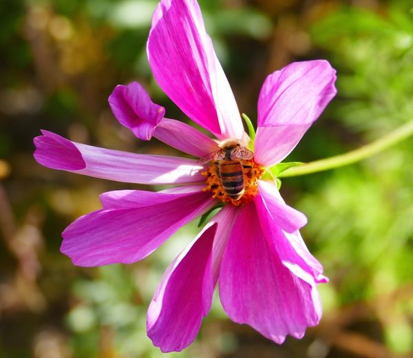 Honey Bee - Pink Cosmos - Nature - Nature On Your Doorstep - Natural Beauty - Eye4photography  - Popular Photos - Enjoying Life - Out & About With Nature