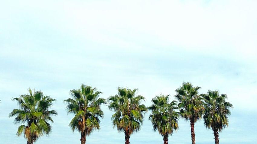 Blue Treetop Palm Leaf Date Palm Tree Tropical Tree Palm Frond