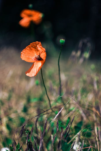Poppy Flowers Nature Photography Summer True Nature Colors Field Poppy Flowers Fragility Freshness Beauty In Nature Vulnerability  Plant Growth Focus On Foreground Nature