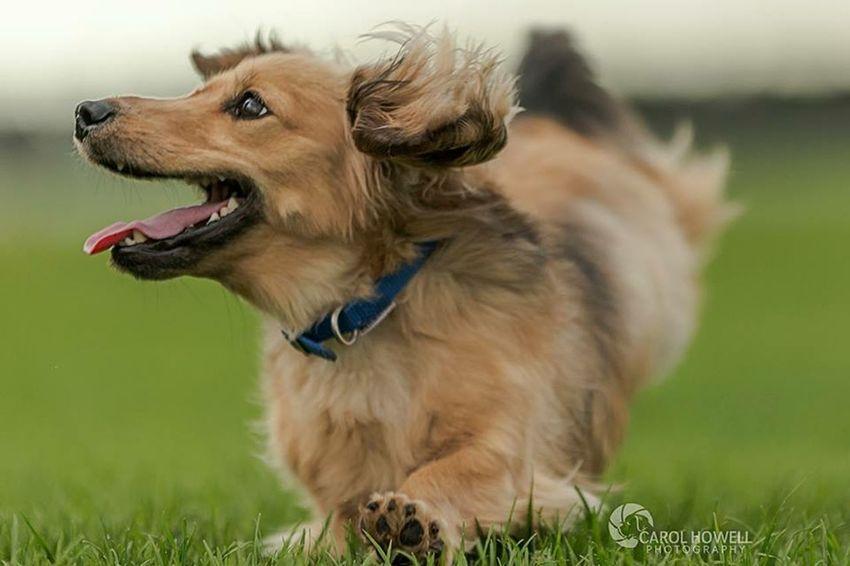I wish I could remember his name! Uk Wolfe Does UK Dachshund Happy Pets Corner Pet Photography
