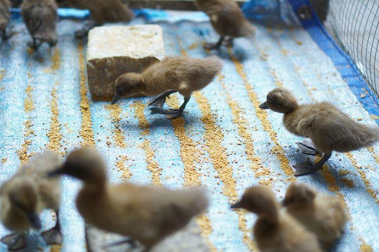 Little ducks on