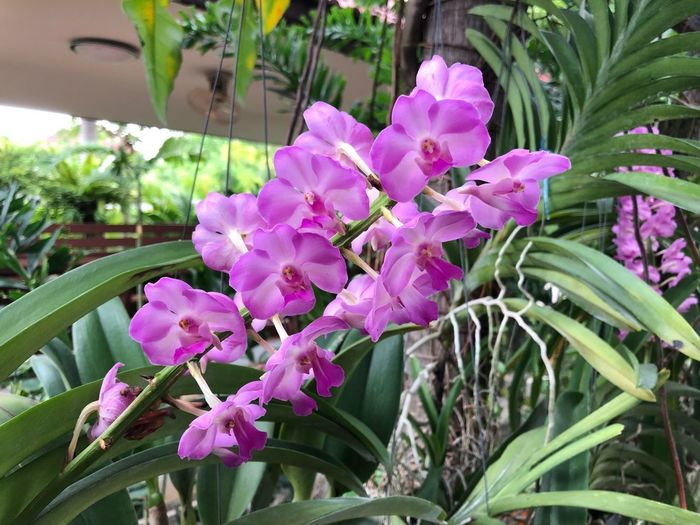 A bouquet of Cattleya Beaumesnil 'Parme' Parme Beaumesnil Cattleya Orchid Bouquet Flower Plant Flowering Plant Fragility Growth Beauty In Nature Pink Color Freshness Petal Plant Part Nature Leaf Flower Head Blossom No People Outdoors Vulnerability