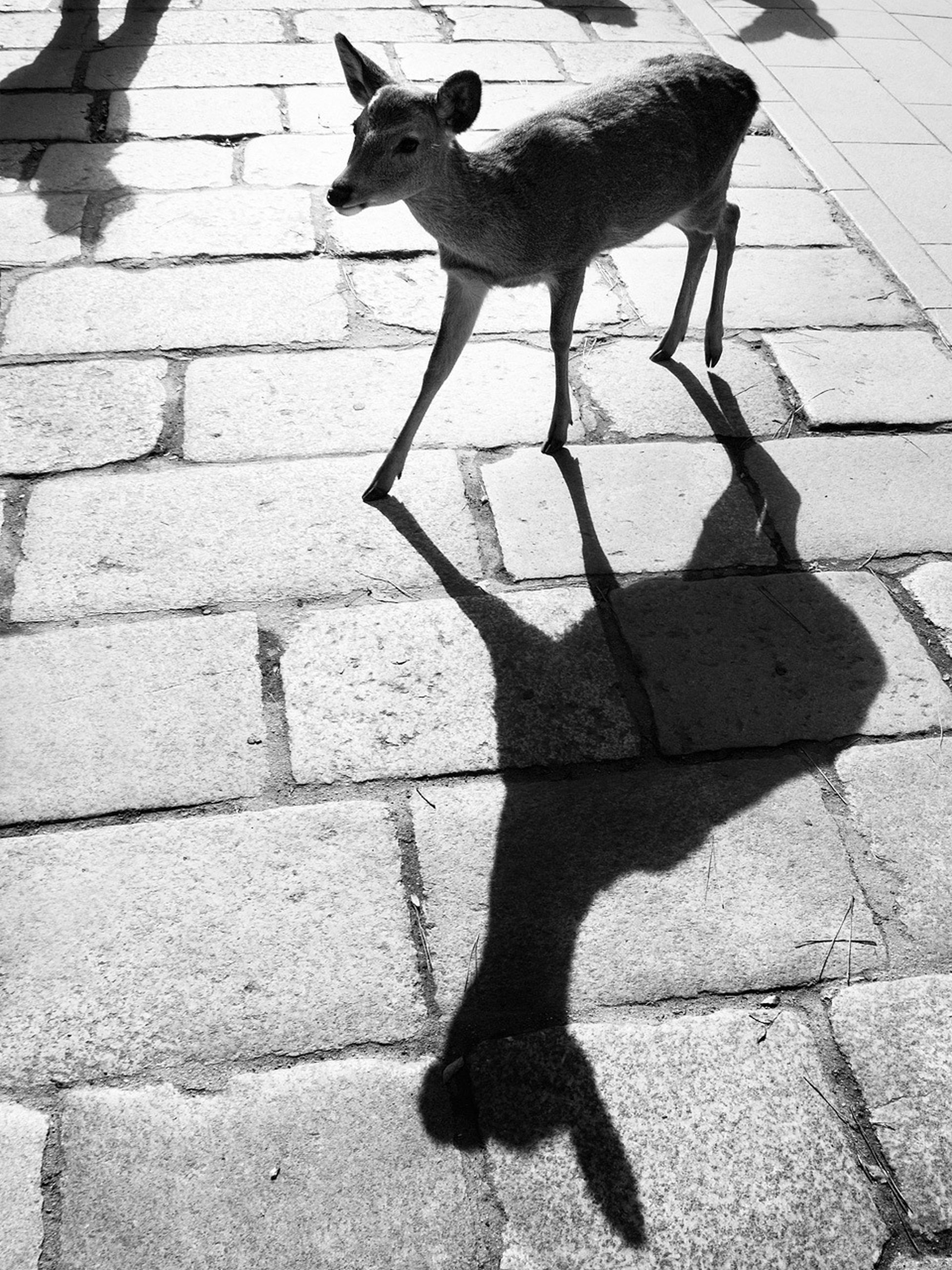 animal themes, one animal, domestic animals, pets, mammal, shadow, high angle view, sunlight, dog, cobblestone, street, standing, domestic cat, wildlife, footpath, animals in the wild, paving stone, walking, full length, sidewalk