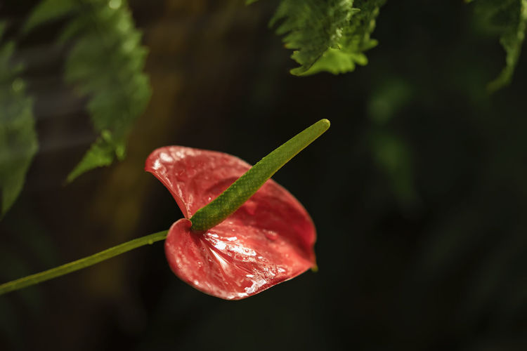 Showy flower of bright red anthurium close up on black background Plant Red Growth Leaf Close-up Plant Part Beauty In Nature Nature Vulnerability  No People Flower Outdoors Petal Flower Head Showy Showy Flowers Bright Anturium Tailflower Flamingo Flower Flamingo Tropical Colorful