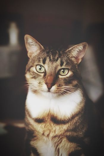 Domestic Cat Pets One Animal Animal Themes Looking At Camera Feline Portrait No People IPhone7Plus 3XSPhotographyUnity Tranquil Scene Pet Portraits ShotOnIphone
