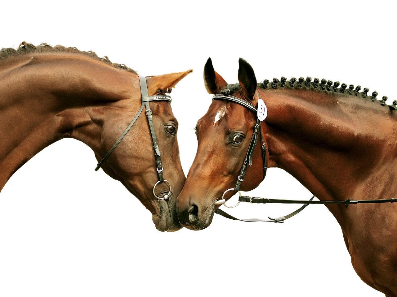 horse, domestic animals, white background, mammal, bridle, brown, livestock, men, human hand, day