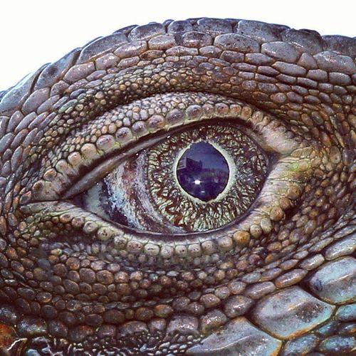 Tajamnya mata sang Iguana. Iguana Eye Ig_reptile Ir_macro macroworld_tr macroexperience