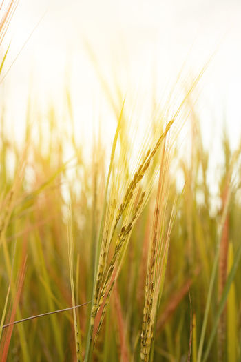 Close-up of wheat crops on field against sky