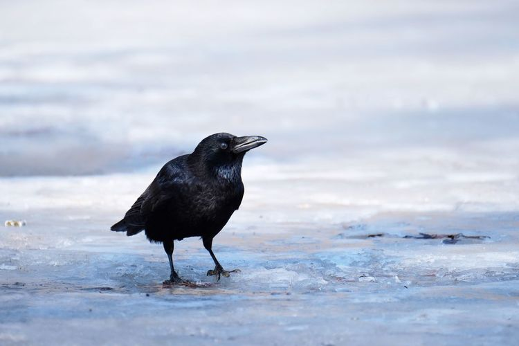 Crow on ice