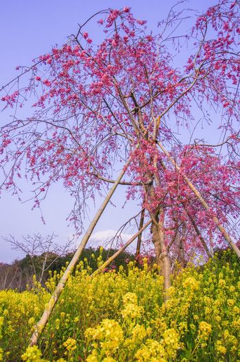 Sakura Plant