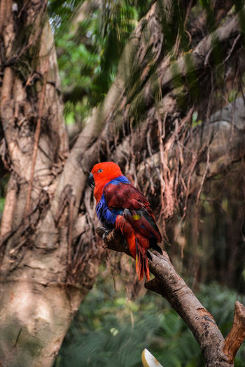 Eclectus parrot sitting on branch of tree