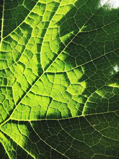 Full Frame Textures And Surfaces Leaf Growth Green Courgette Vein Veins In Leaves Homegrown Homegrown Produce Light And Shadow Illuminated