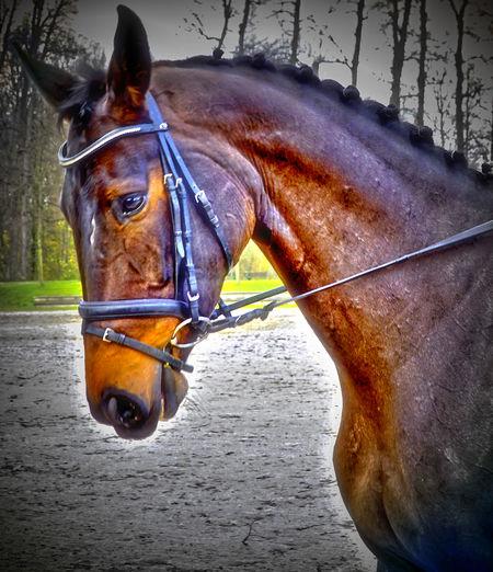 Animal Animal Head  Animal Themes Domestic Animals Horse One Animal Paard Pferd Side View Tier