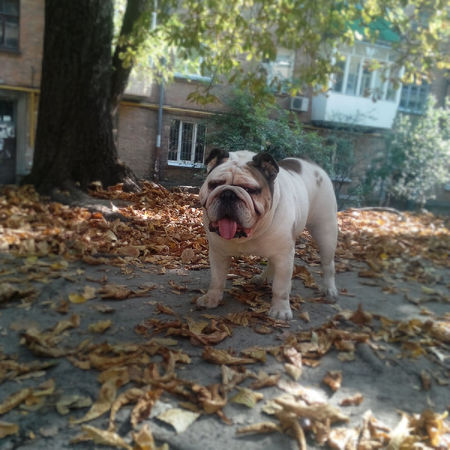 My bulldog. English Bulldog Bulldog Dog Days Of Summer EnglishBulldog
