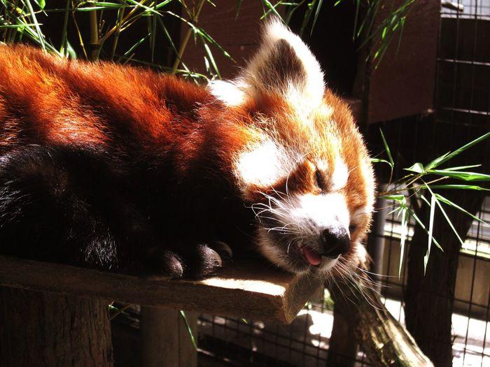 熱川 バナナワニ園 レッサーパンダ Travel 日本 Japan One Animal Animal Themes Mammal Red Panda No People Day Outdoors Close-up Animals In The Wild Domestic Animals Panda - Animal Nature Goodnight World.... Good Night World
