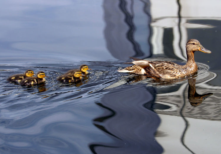 Mallard duck and ducklings swimming on pond