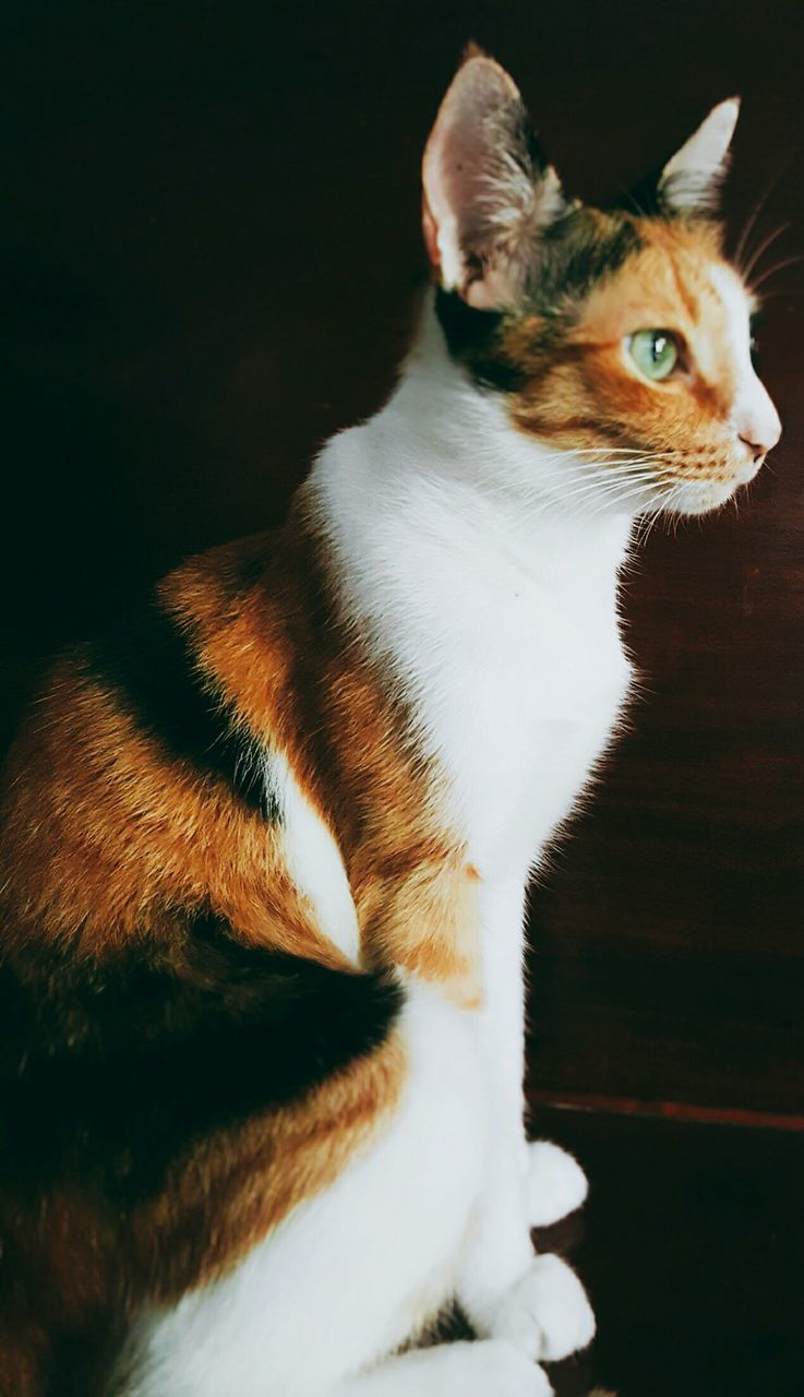 pets, domestic cat, domestic animals, one animal, mammal, animal themes, cat, feline, sitting, indoors, no people, close-up, day