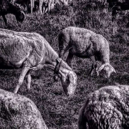 Blackandwhite Country Lambs Sheeps