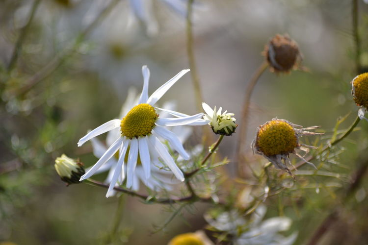 Close-up of white flowers with buds against blurred background