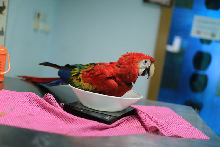 Close-up of parrot perching in bowl on weight scale in hospital