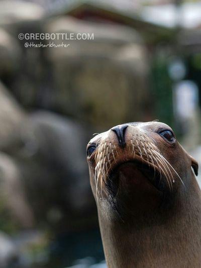 Californian Sea Lion, New York Zoo. New York Zoo Wildlife
