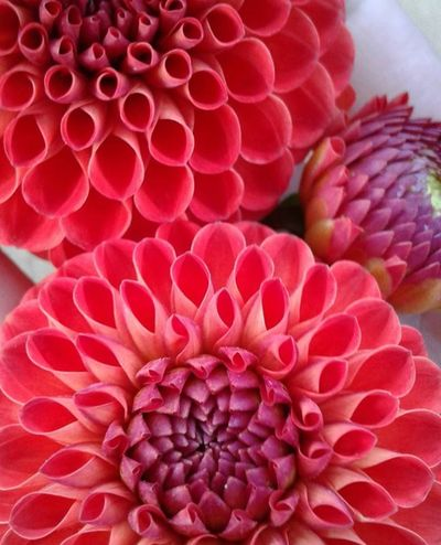 these dahlias are gorgeous Dahlia Dahlia Flowers Beauty Flower Pink Color Red No People Close-up Nature Flower Head Beauty In Nature Outdoors Day