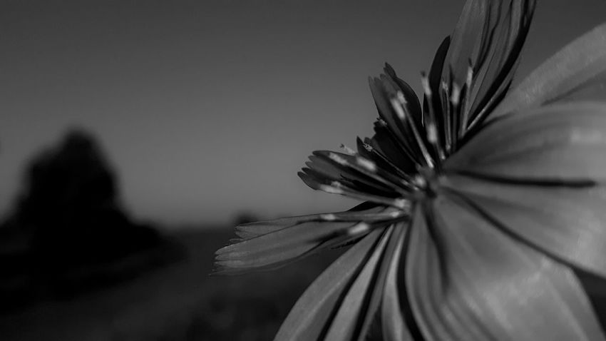 Black And White Photography Chicory Flower Cichorei