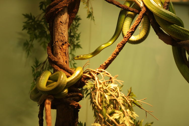 Green Snake at Staten Island zoo Green Snake Snake Tree Snake Zoo Green Color Green Snakes /tree Snake Plant Tree Zoo Animals  Zoophotography