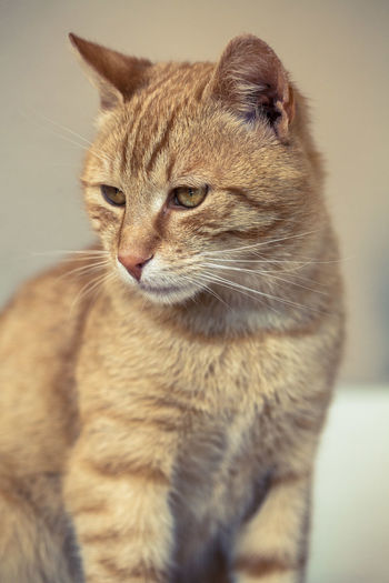 Cat Mammal Animal Themes Feline Animal One Animal Pets Domestic Whisker Close-up No People Looking Away Looking Indoors  Animal Body Part Sitting Focus On Foreground Animal Head  Ginger Cat Tabby Animal Eye Portrait