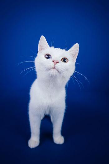 Close-up portrait of white cat against blue background