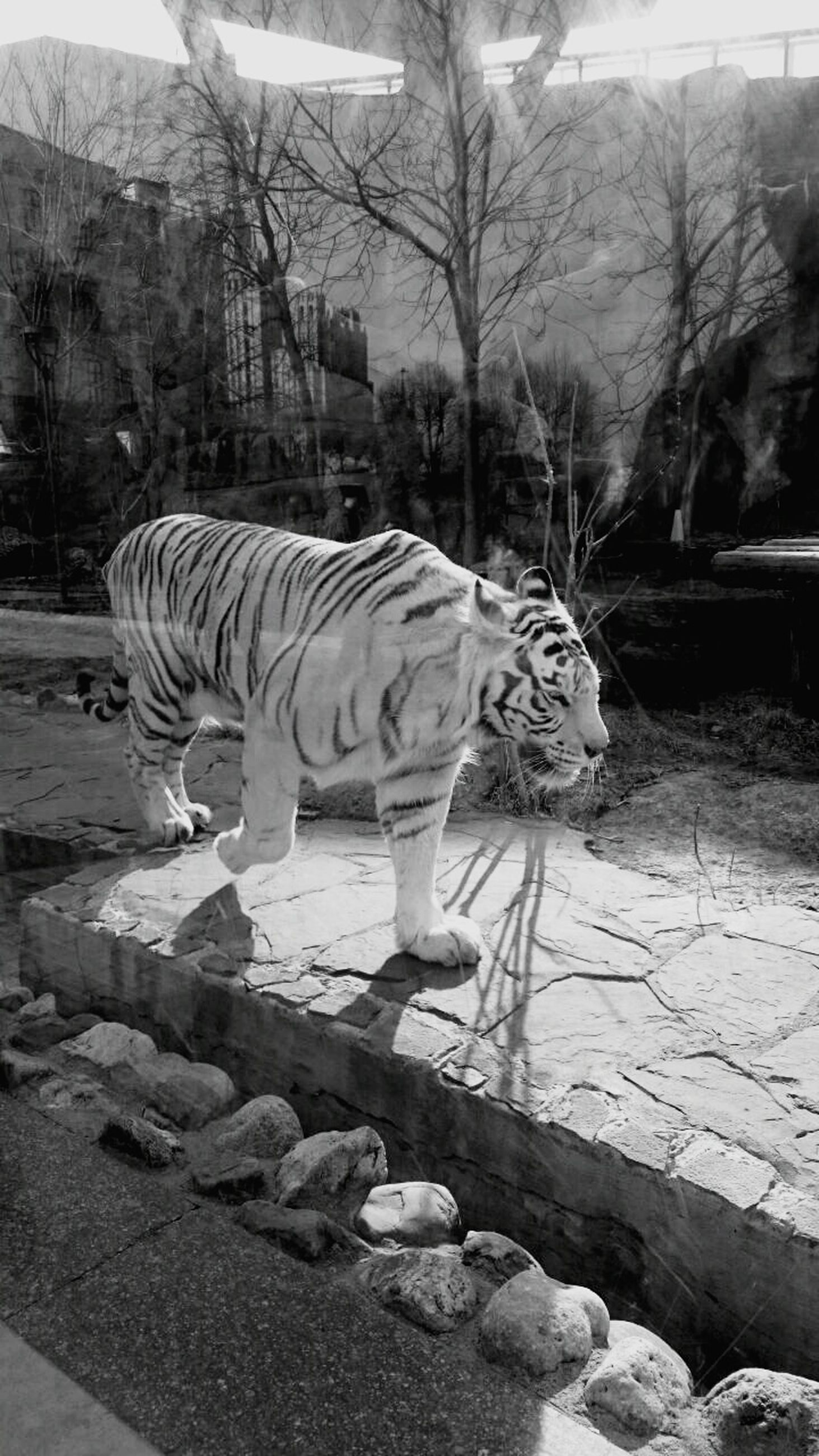 animal themes, animals in the wild, wildlife, one animal, bird, zoo, zebra, mammal, full length, animals in captivity, two animals, zoology, outdoors, side view, no people, tree, day, safari animals, nature, standing