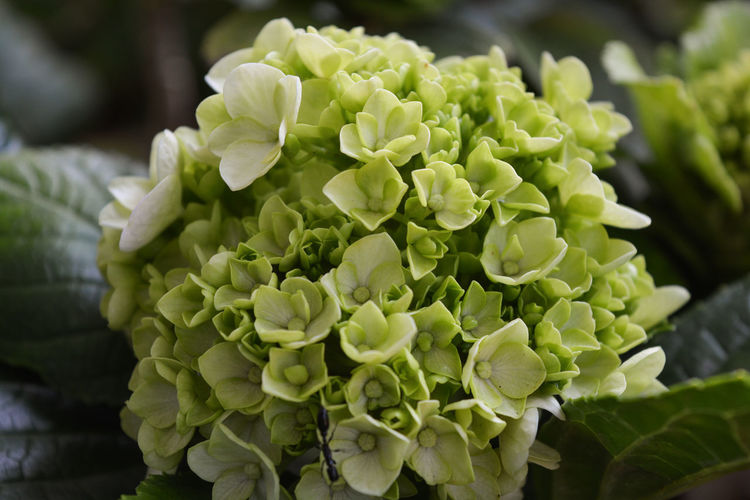 moluccela laevis, bells of ireland, trees EyeEmNewHere Beauty In Nature Bells Of Ireland Blooming Close-up Day Eyeemnaturelover Flower Flower Head Focus On Foreground Fragility Freshness Green Color Growth Hydrangea Leaf Moluccela Laevis, Nature No People Outdoors Plant