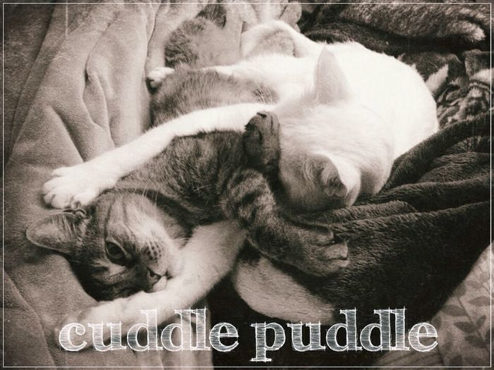 Cuddle Puddle 1.0 Cat Cats Cuddlepuddle SheCATigans Lolcat Cutecats Sibling Love Furbabies Bedgasm
