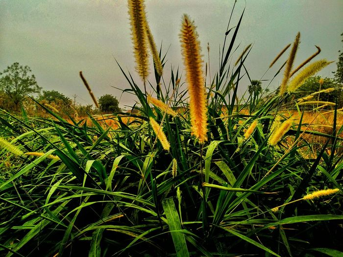 Farmland Farm Life Grassland Stalk Fodder Field For Cows At My Farm Freshness Beauty In Nature Rural Scenes Mobile Photography My Passion ❤ EyeEm Nature Lover EyeEm Gallery Eyeemphotography EyeEm Incredible India With Love From India💚 Keep Smiling Always 😊 Truly..urs... Nitin 🌹