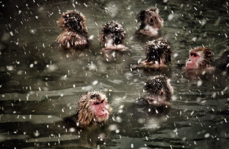 Japanese Macaques Swimming In Hot Spring During Snowfall
