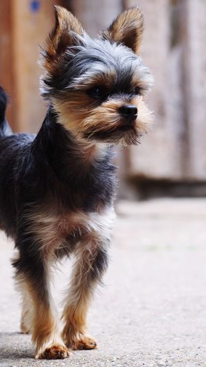 EyeEm Selects Pets Dog Happiness Close-up Puppy Yorkshire Terrier Terrier