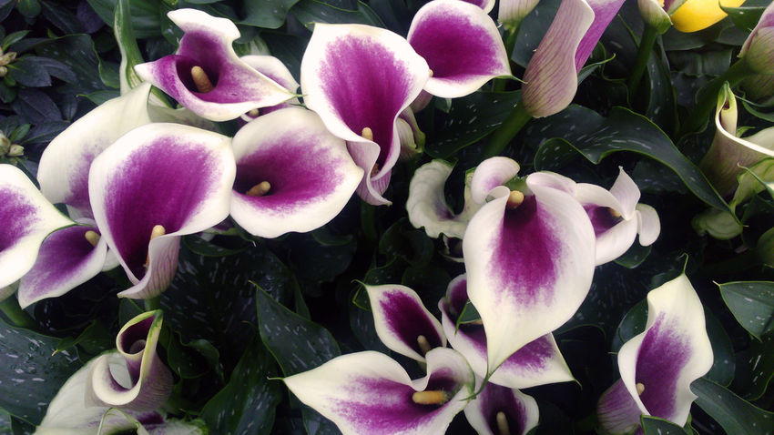Background Blooming Callalily Close-up Flower Flower Head Fragility Freshness Growth Outdoors Petal Plant Purple