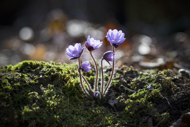 Asian Liverleaf Hepaticaasiatica Flower Head Flower Crocus Springtime Petal Close-up Plant Grass
