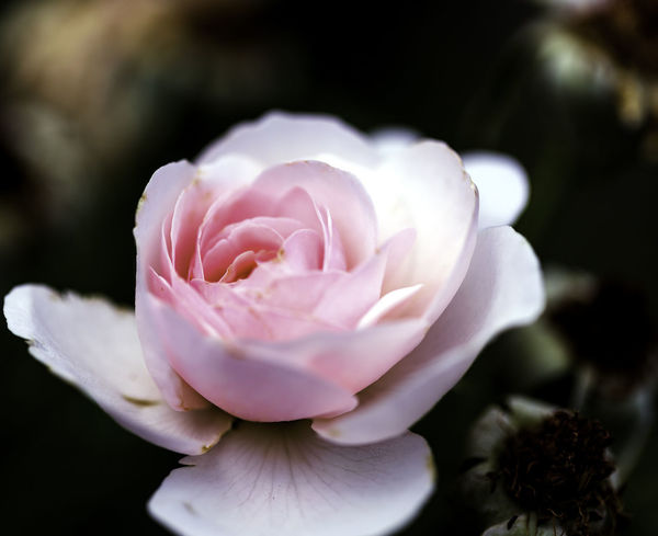 Dreamy Rose Beauty In Nature Blooming Close-up Flower Flower Head Fragility Freshness Growth Nature No People Outdoors Petal Pink Color Plant