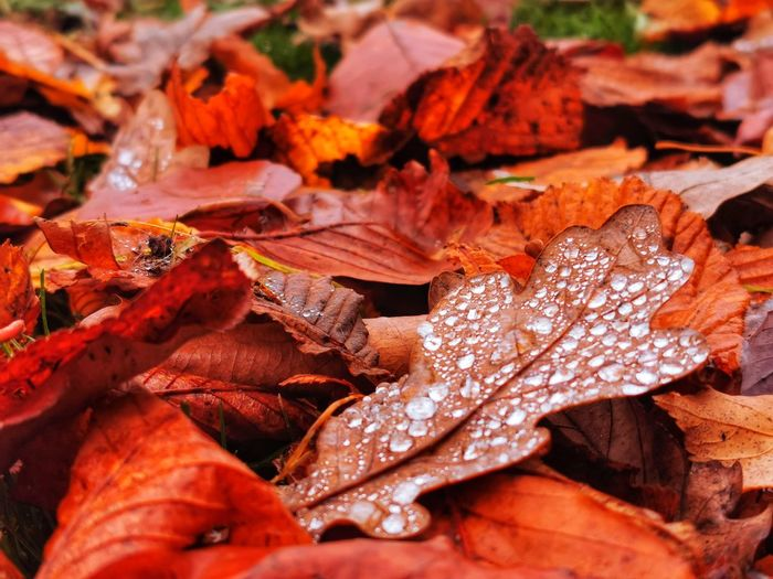 Close-up of wet maple leaves during autumn