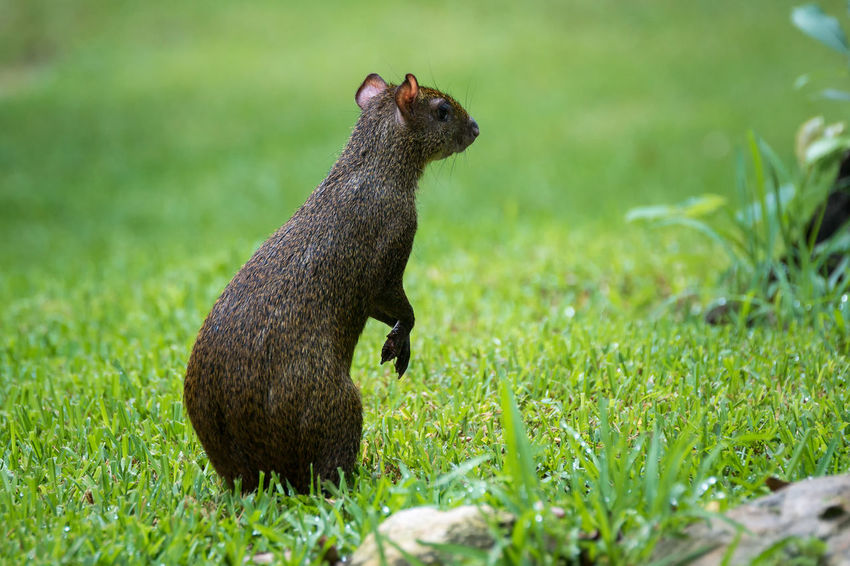 Aguti Agouti Designates Agouti Mexico Aguti America Animal Themes Animal Wildlife Animals In The Wild Close-up Dasyprocta Day Grass Green Color Mammal Nature No People One Animal Outdoors