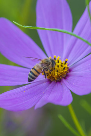 Bees on Cosmos in Clarens in the Free State Animal Themes Animal Wildlife Animals In The Wild Beauty In Nature Bee Blooming Bumblebee Close-up Day Flower Flower Head Focus On Foreground Fragility Freshness Growth Insect Nature No People One Animal Outdoors Petal Plant Pollination